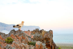 Egyptian Vulture, Socotra Island Royalty Free Stock Images