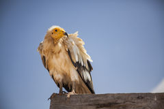 Egyptian vulture in Socotra. Egyptian vulture, neophron percnopterus, threatened in wild but abundant on an island of Socotra, Yemen Stock Image