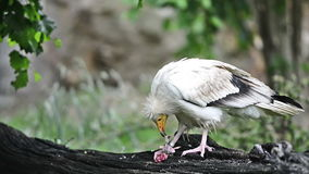 Egyptian vulture or white scavenger vulture Royalty Free Stock Photos