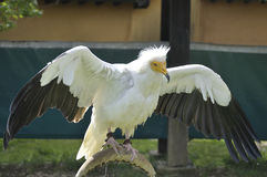 Egyptian vulture (Neophron percnopterus) Royalty Free Stock Photo