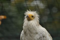 Egyptian vulture. In ZOO Ostrava, Czech Republic, Neophron percnopterus Royalty Free Stock Photo