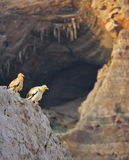 Egyptian Vultures against the background of the cave Stock Photography