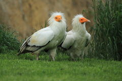 Egyptian vultures Royalty Free Stock Photo