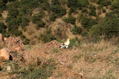 Egyptian vultures from Ethiopia Stock Photo