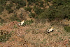 Egyptian vultures from Ethiopia Stock Images