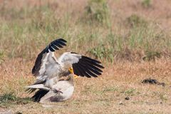 Egyptian vultures in meeting time, Lumbini, Nepal Stock Photos
