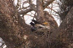 Egyptian vultures in nesting time, Lumbini, Nepal Royalty Free Stock Images