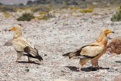 Egyptian Vultures Stock Image