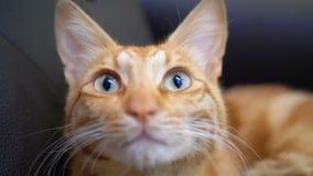 Egyptien rouge Cat Lying sur la chaise Chat roux avec de grands yeux Mouvement lent banque de vidéos