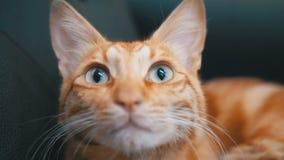 Egyptien rouge Cat Lying sur la chaise Chat roux avec de grands yeux Mouvement lent clips vidéos