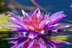 Egyptier Lotus Flower och reflexion i dammet royaltyfri bild