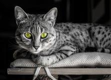 Egyptier Mau med gröna ögon Arkivbild