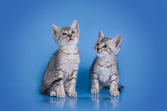 EgyptierMau kattunge som isoleras på en kulör bakgrund Royaltyfria Foton
