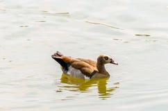 Egyption Goose stock photography
