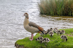 Egyption goose with babies Royalty Free Stock Photo