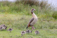 Egyption goose with babies Royalty Free Stock Photography