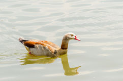 The Egyption Goose Royalty Free Stock Images