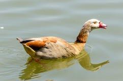 The Egyption Goose royalty free stock photo