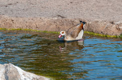 Egyption Goose Royalty Free Stock Images