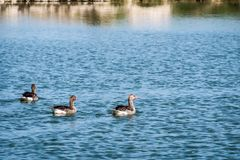 Egyption goose swimming in Saadiyat Island Lake stock photos