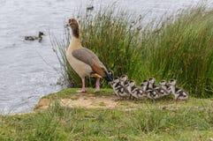 Egyptions-Gans mit den Babys, die auf Ufer stehen Stockbild