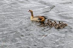 Egyptions-Gans mit den Babys, die im See schwimmen Lizenzfreies Stockfoto