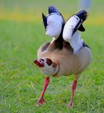 Egyptisch Duck Posed Royalty-vrije Stock Afbeelding