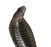 Egyptische cobra tegen witte achtergrond stock afbeeldingen