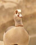Egyptische Gans Royalty-vrije Stock Fotografie