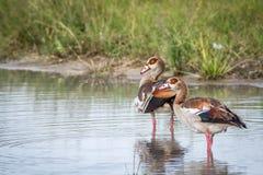 Egyptische ganzen die zich in het water bevinden Royalty-vrije Stock Afbeelding
