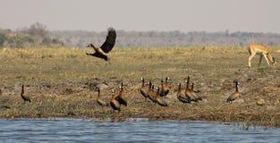 Egyptische ganzen en impalaantilope Royalty-vrije Stock Afbeelding