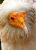 Egyptische gier stock fotografie