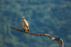 Egyptische gier in het Wildreserve Madjarovo Royalty-vrije Stock Foto