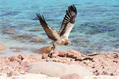 Egyptische gier tijdens de vlucht over de kust van het Arabische overzees royalty-vrije stock fotografie