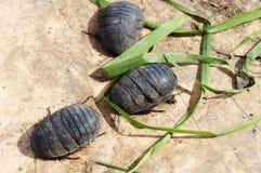 Egyptische kakkerlakken! royalty-vrije stock fotografie