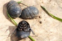 Egyptische kakkerlakken! Stock Foto