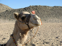Egyptische kameel Stock Afbeeldingen