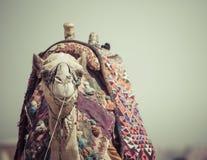 Egyptische Kameel bij Giza-Piramidesachtergrond Toeristische attractie - Stock Afbeeldingen