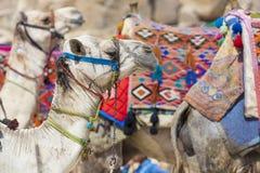 Egyptische Kameel bij Giza-Piramidesachtergrond Toeristische attractie - Stock Foto's