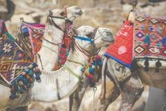 Egyptische Kameel bij Giza-Piramidesachtergrond Toeristische attractie - Royalty-vrije Stock Afbeeldingen