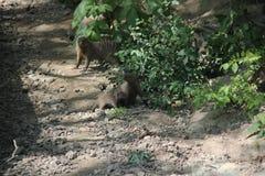 Egyptische Mongoezenfamilie stock foto