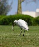 Egyptische reiger - ibis Bubulcus Royalty-vrije Stock Fotografie