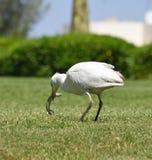Egyptische reiger - ibis Bubulcus Royalty-vrije Stock Afbeeldingen