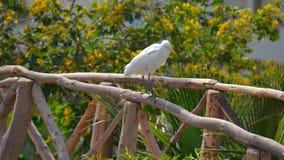 Egyptische reiger - ibis Bubulcus Stock Afbeelding