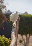 Egyptische reiger - ibis Bubulcus Royalty-vrije Stock Afbeelding
