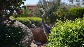 Egyptische reiger - ibis Bubulcus Stock Afbeeldingen