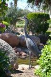 Egyptische reiger - ibis Bubulcus Royalty-vrije Stock Foto
