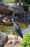 Egyptische reiger - ibis Bubulcus Stock Foto's