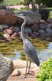 Egyptische reiger - ibis Bubulcus Stock Foto