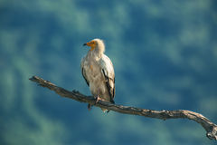 Egyptisk gam i djurlivreserven, Bulgarien Arkivfoto